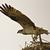 Osprey Live