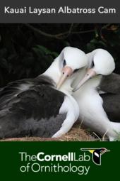 Laysan Albatross Cam