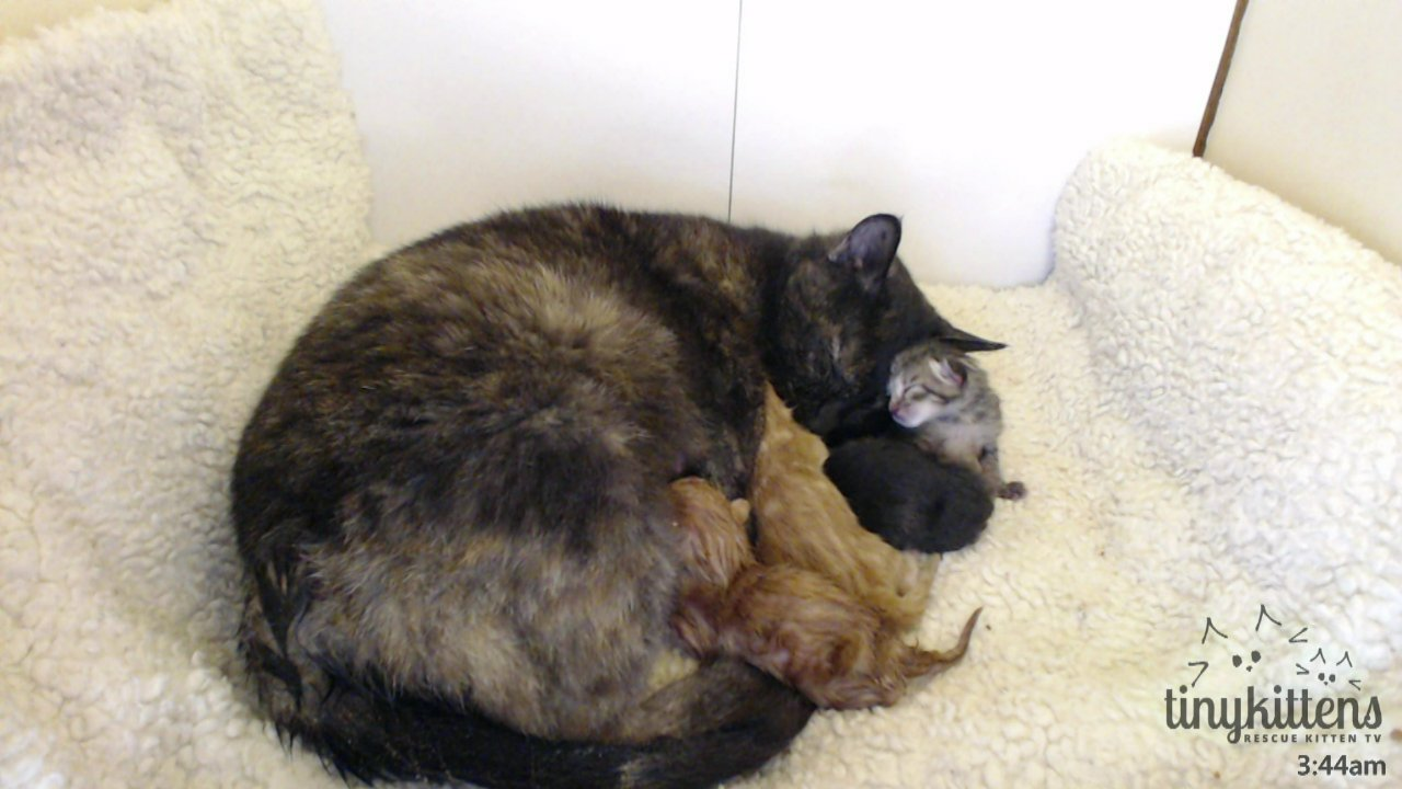 Embed Savina feral mama to four adorable kittens