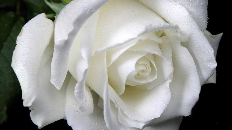 White Rose Day - Musselburgh